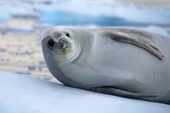 Crabeater seal on ice floe, Antarctic Peninsula Royalty Free Stock Photos
