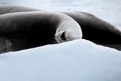 Crabeater seal on ice floe, Antarctic Peninsula Royalty Free Stock Image
