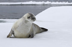 Crabeater seal on an ice floe. In the Antarctic waters Stock Photography