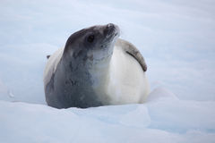 Crabeater seal on ice floe, Antarctica Stock Image