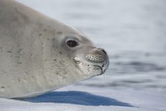 Crabeater seal on ice flow, Antarctica Royalty Free Stock Images