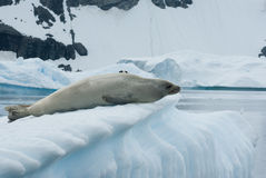 Crabeater seal on an iceberg. Crabeater seals lying on an iceberg in the background of rocks and snow of Antarctica Royalty Free Stock Image