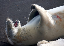 Crabeater seal Royalty Free Stock Photography