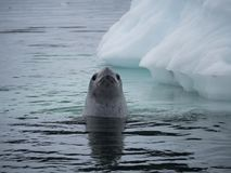 Crabeater Seal Looking at the Camera stock photography