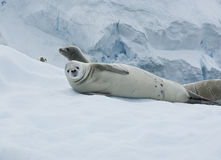 Crabeater seal lying on the ice. Stock Photography