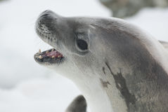 crabeater seal portrait with open mouth lying on ice Stock Photos