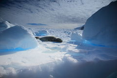 Crabeater seal. Relaxing on the blue iceberg Royalty Free Stock Images