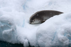 Crabeater seal sleeping on a small iceberg. Crabeater seal sleeping on a small floating iceberg Stock Photography