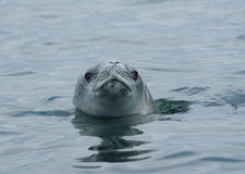 Crabeater seal watching from the water Royalty Free Stock Photo