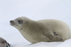 Crabeater seal which lies on the ice Stock Photography