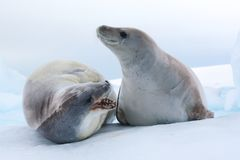 Crabeater Seals, Antarctica Royalty Free Stock Photos