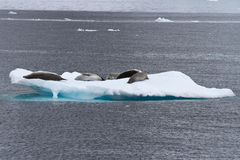 Crabeater seals group on the ice in Antarctic Stock Images