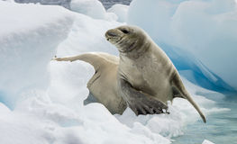 Crabeater seals on the ice. Royalty Free Stock Image