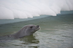 Crabeater seals on the ice. Stock Photography