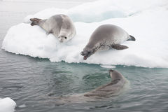 Crabeater seals on the ice. Royalty Free Stock Photos