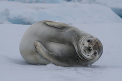 Crabeater seals on the ice. Stock Images