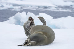 Crabeater seals on the ice. Royalty Free Stock Images