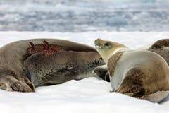 Crabeater seals on ice floe, Antarctic Peninsula Stock Image