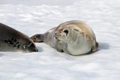 Crabeater seals on ice floe, Antarctic Peninsula Royalty Free Stock Photo