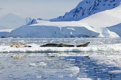 Crabeater seals on ice floe, Antarctic Peninsula Royalty Free Stock Photography