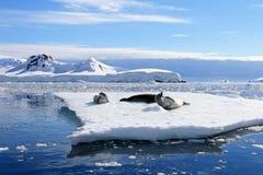 Crabeater seals on ice floe, Antarctic Peninsula Stock Photos