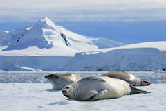 Crabeater seals on ice floe, Antarctic Peninsula. Antarctica Stock Photo