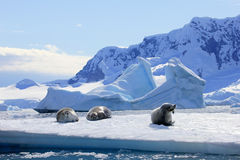 Crabeater seals on ice floe, Antarctic Peninsula. Antarctica Royalty Free Stock Photo