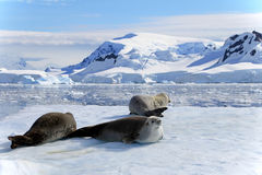Crabeater seals on ice floe, Antarctic Peninsula. Antarctica Royalty Free Stock Photography