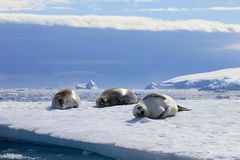 Crabeater seals on ice floe, Antarctic Peninsula Royalty Free Stock Images