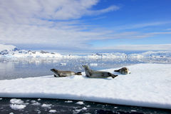 Crabeater seals on ice floe, Antarctic Peninsula Stock Images