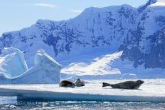 Crabeater seals on ice floe, Antarctic Peninsula Royalty Free Stock Photos