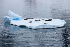 Crabeater seals on ice floe, Antarctic Peninsula Royalty Free Stock Image