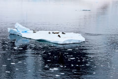 Crabeater seals on ice floe, Antarctic Peninsula Stock Photo