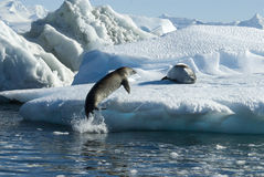 Crabeater seals jump on the ice. Stock Image