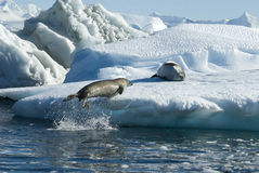 Crabeater seals jump on the ice. Royalty Free Stock Image