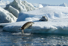 Crabeater seals jump on the ice. Stock Photo