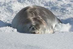 Crabeater seals lying in the snow. Royalty Free Stock Photo