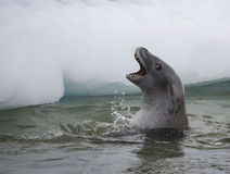 Crabeater seals in the water Stock Image