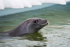 Crabeater seals in the water Royalty Free Stock Photography