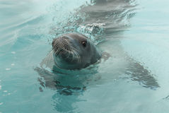 Crabeater seals in the water Royalty Free Stock Images