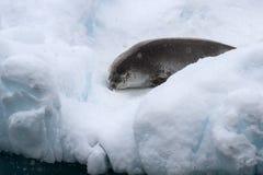 Crabeaterrobbe, die auf einem kleinen Eisberg schläft Stockfotografie