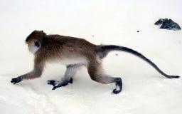 Crabeaters del macaco, isole dell'arcipelago di Phi Phi immagini stock libere da diritti