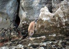 Crabeaters del macaco, isole dell'arcipelago di Phi Phi fotografie stock