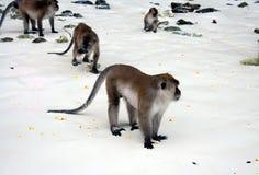 Crabeaters del macaco, isole dell'arcipelago di Phi Phi fotografia stock