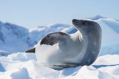 Crabeaterskyddsremsa på isflöde, Antarktis Arkivfoto