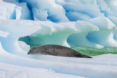 Crabeaterskyddsremsa på isflöde, Antarktis Royaltyfri Foto