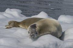 Crabeaterskyddsremsa på isflöde, Antarktis Fotografering för Bildbyråer