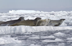 Crabeaterskyddsremsor flockas att vila på en isisflak 1 Fotografering för Bildbyråer
