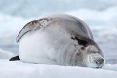 Crabeaterverbinding, Antarctica Royalty-vrije Stock Afbeelding
