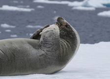 Crabeatre Seal laying on the ice Royalty Free Stock Photos